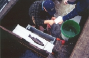 Squaxin Adult Coho Trap