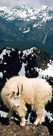 Goat with mountains in background