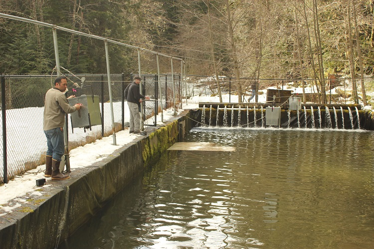 Tribes raising releasing young steelhead to restore for Puyallup river fishing