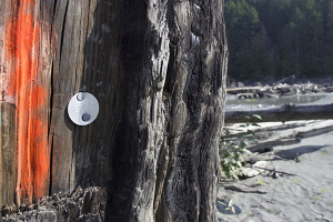 Silver tags are attached to log and stumps throughout the Elwha River so scientists can track their movements as the river changes during restoration.