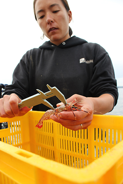Margaret Homerding, shellfish biologist for the Nisqually Tribe, measures a prawn during the tribes shellfish surveys of South Sound.