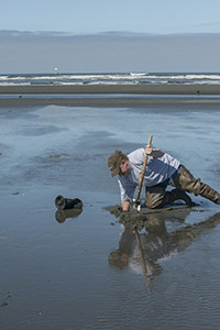 Scott Mazzone, marine biologist for the Quinault Indian Nation, digs a razor clam used for sampling for marine biotoxins. All razor clam harvest has been suspended indefinitely on the Washington coast due to a high level of domoic acid in razor clams. The toxin does not harm the clams, but can sicken or kill humans.