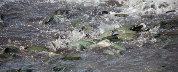 The Puyallup Tribe is keeping a close eye on the harm caused by warm water to salmon returning to the river, including hundreds of thousands of pink salmon.